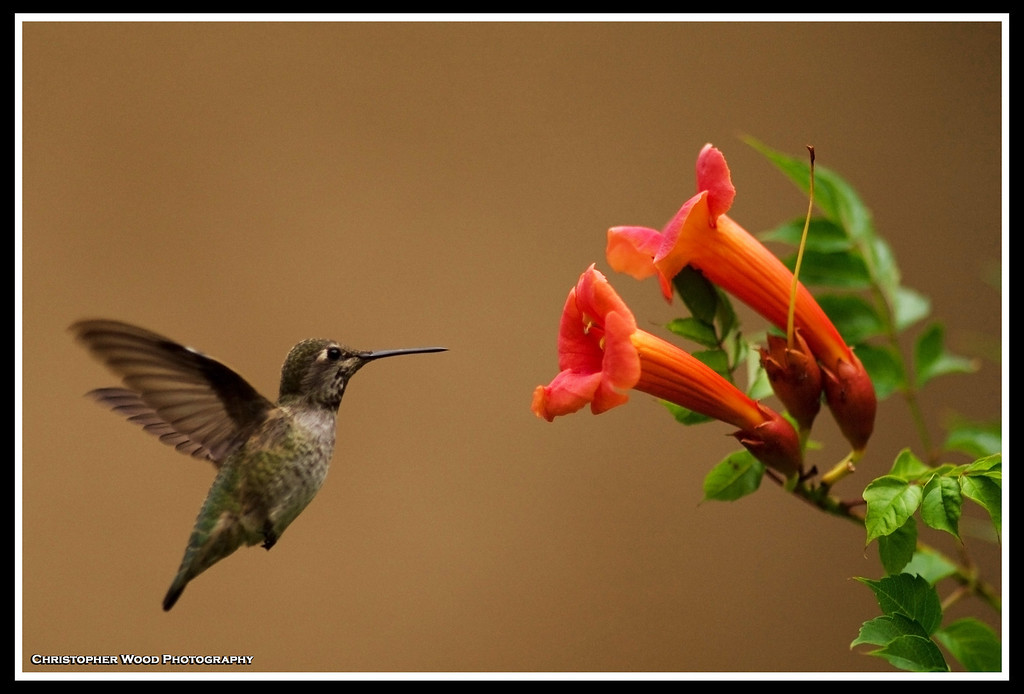 Humming Bird